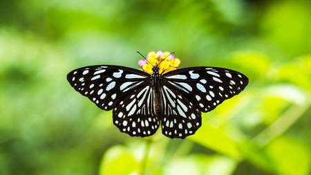 Top view of Butterfly: Tirumala limniace on flower Stock Photo