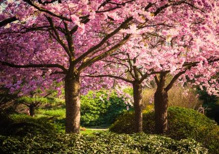 arbol de cerezo: �rboles que llevan rosa en primavera