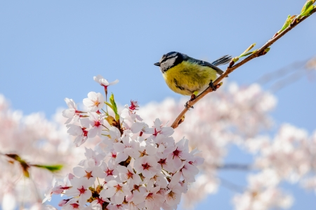 great tit: Great tit in springtime