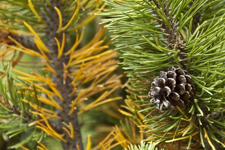 mugo: the pine cone isolated on the mugo pine