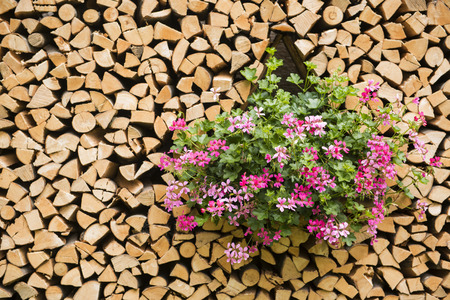woodshed: Colored flowers in the woodshed, Trentino - Italy Stock Photo