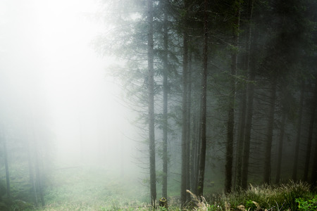 foggy day in a forest of Paneveggio, Trentino - Dolomites, Italy photo