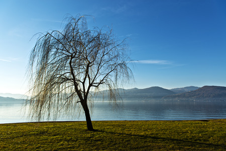 weeping willow: Lonely weeping willow near the lakeside, Ispra - Varese, Lombardy - Italy