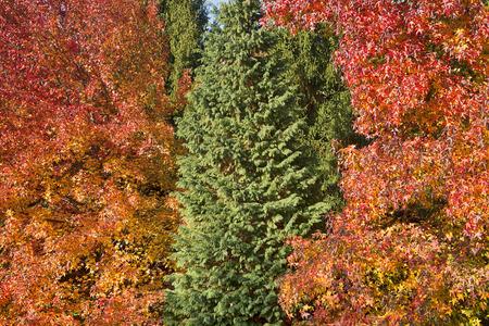 Un albero sempreverde in mezzo agli altri con colori autunnali