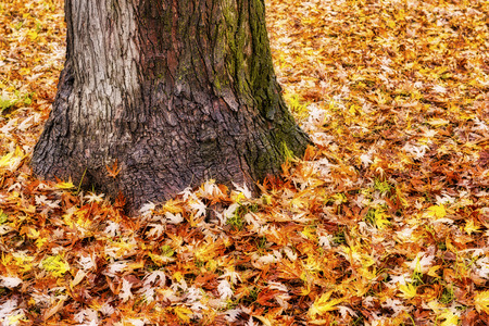 solitary tree with a sea of leaves around it in autumn season