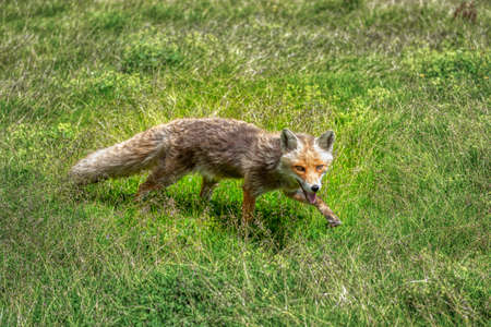close-up of a gray fox on the green grass 版權商用圖片