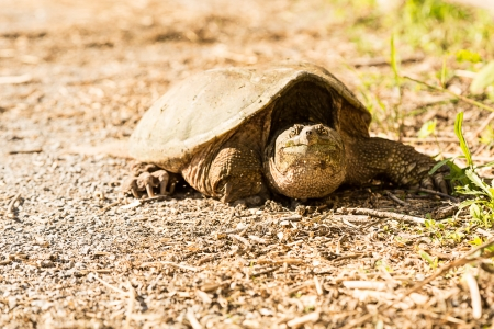 Common snapping turtle - Chelydra serpentina Banco de Imagens - 20361527