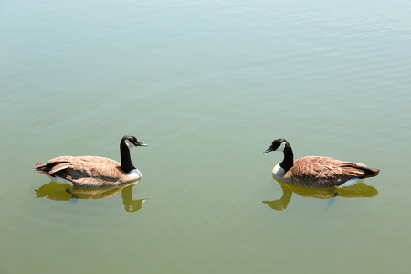 Two geese facing one anohter photo