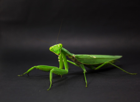 predatory insect: mantis isolated on black background