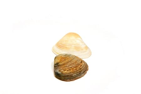 Two Seashells side by side - Dark one Upfront