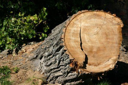 dilsiz: Close up on a Tree Stump Stock Photo