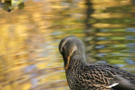 agachado: Pato de limpieza en el estanque