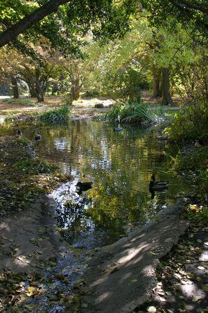 agachado: Pato nadando en el agua de oro