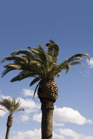 Palm Trees with Blue Skies as a Background Stock Photo - 333918