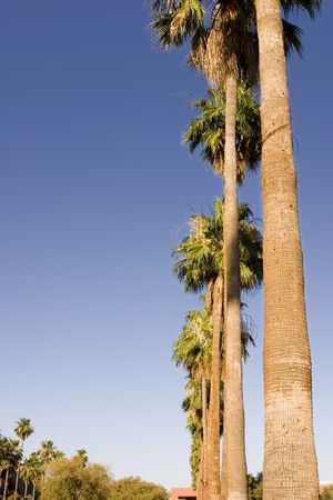Palm Trees in a Row with Clear Skies - Ground View photo