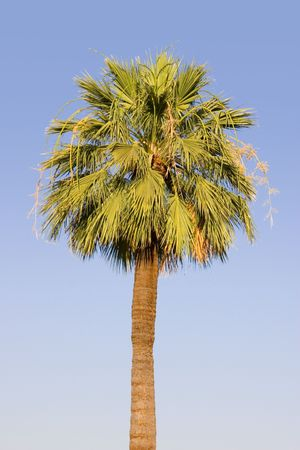 Single Palm Tree photo