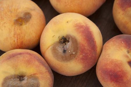Close up shot of a Peach Disease - Peach Scab