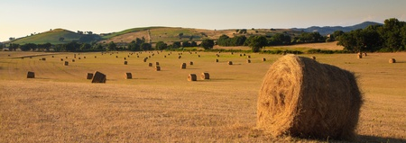 A field with hundreds of  hay bales in golden sunset light Stock Photo