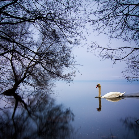 peacefully: White swan swimming gently in still lake water in blue light