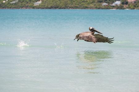 Brown pelican taking off in magens bay blue ocean Stock Photo