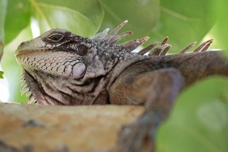 Big green Iguana resting in St  Thomas, US VI Stock Photo