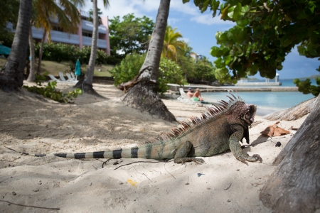 Green Iguana resting on the sun in a caribbean resort with tourists getting tan on background Stock Photo