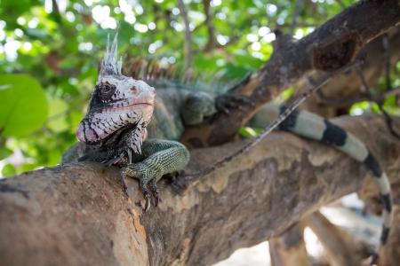 Big green Iguana resting in St. Thomas, US VI