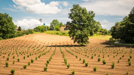 Cultivated field in Italy, with growing plants  Sunny day with few clouds and blue sky with a windmill in background