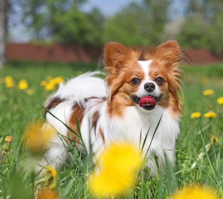 Dog is standing among the yellow flowers photo