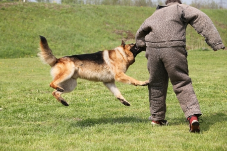 german shepherd on the grass: Attack dog training session