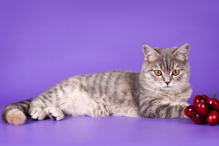 scottish straight: Scottish straight on purple background