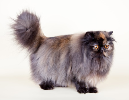 persian: Persian cat on yellow background