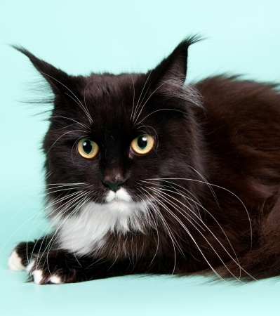 Maine coon head on green background Stock Photo