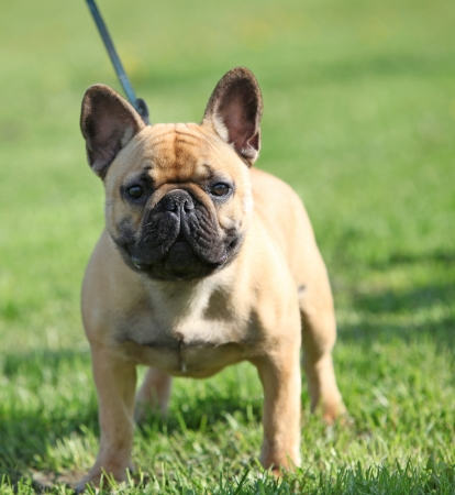 French Bulldog  standing on the grass photo
