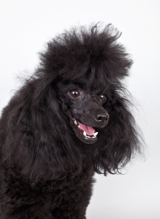 Poodle black head on white background photo