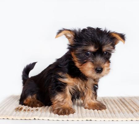 silky terrier: Silky terrier su sfondo bianco Archivio Fotografico