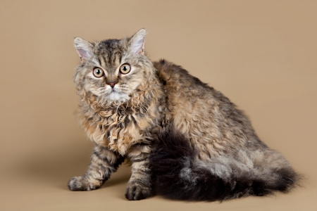 Selkirk rex on brown background photo