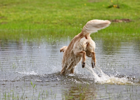 Big dog is jumping in the water photo