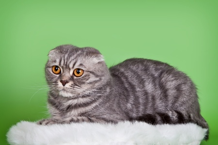 Scottish fold on green background photo