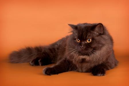 British cat on orange background Stock Photo - 13988487