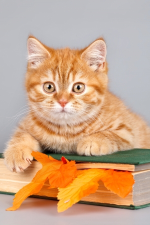 Red kitten on the book on grey background Stock Photo