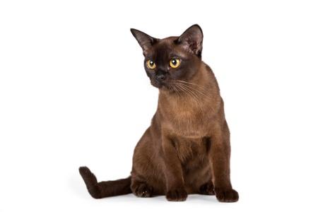 Burmese cat on white background Imagens