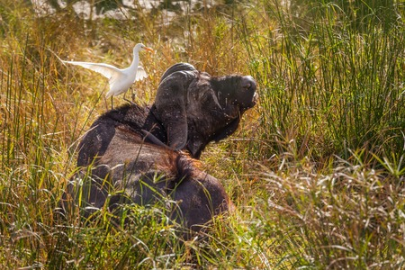 African buffalo  Syncerus caffer  with a cattle egret  Bubulcus ibis , Kruger National Park, South Africa