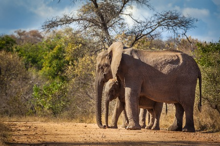 Elephant calf and mum, Kruger National Park, South Africa