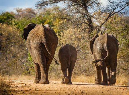 kruger national park: Elephant family walking in park road, Kruger National Park, South Africa