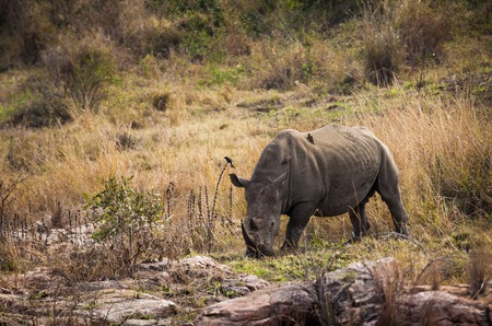 White rhinoceros   Ceratotherium simum   in Kruger National Park, South Africa  Stock Photo