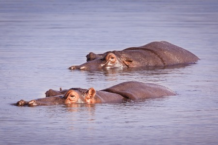 Two hippopotamus  swimming in Sabie River, Kruger National Park, South Africa