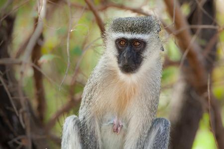 kruger national park: Vervet monkey   Chlorocebus pygerythrus  in Kruger National Park, South Africa