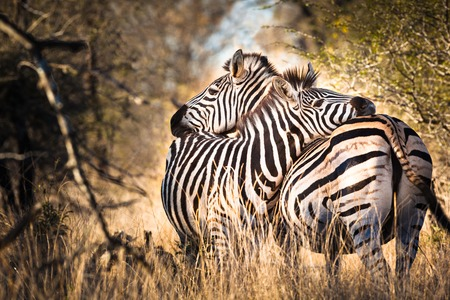 Two hugging zebras in love, Kruger National Park, South Africa