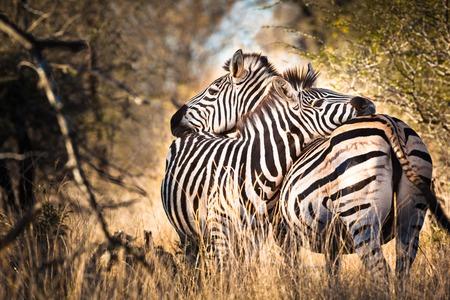 zebra head: Two hugging zebras in love, Kruger National Park, South Africa
